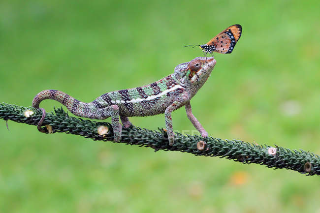 Vista laterale della farfalla su una testa di camaleonti, messa a fuoco selettiva — Foto stock