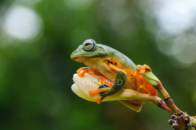 Wallace flying frog on a flower bud, blurred background — Stock Photo