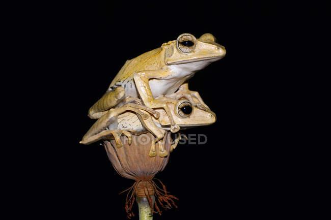 Дві жаби дерева вухаті на квітковому бутона, чорний фон — стокове фото