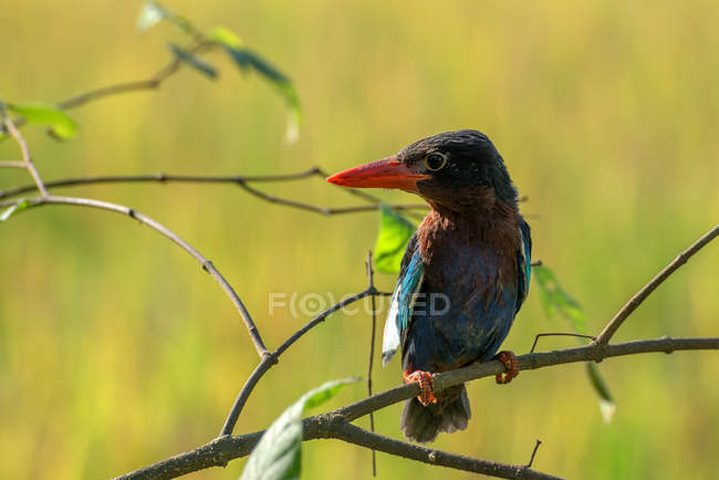 Portrait d'un oiseau martin-pêcheur assis sur une branche sur fond flou — Photo de stock