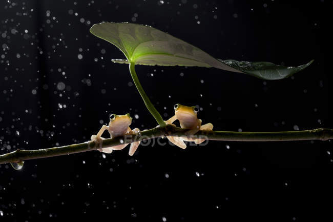 Two frogs sitting on a plant in the rain, blurred background — Stock Photo