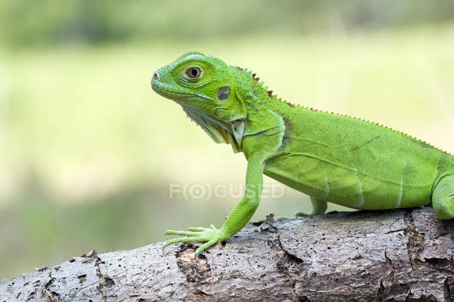 Side view Portrait of a green iguana, selective focus — Stock Photo