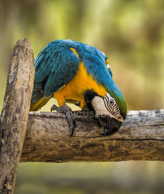 Сине-золотой ара сидит на ветке, размытый фон — стоковое фото