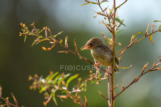Bar-winged prinia perched in a tree against blurred background — Stock Photo