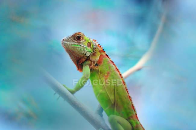 Ritratto di un'iguana su un ramo, fuoco selettivo — Foto stock