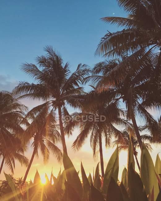 Пальмы на пляже на закате, Округ Ориндж, Калифорния, США — стоковое фото