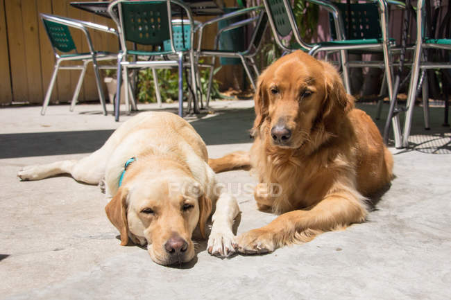 Ретривер и лабрадор собак, лежащих на солнце, крупным планом зрения — стоковое фото