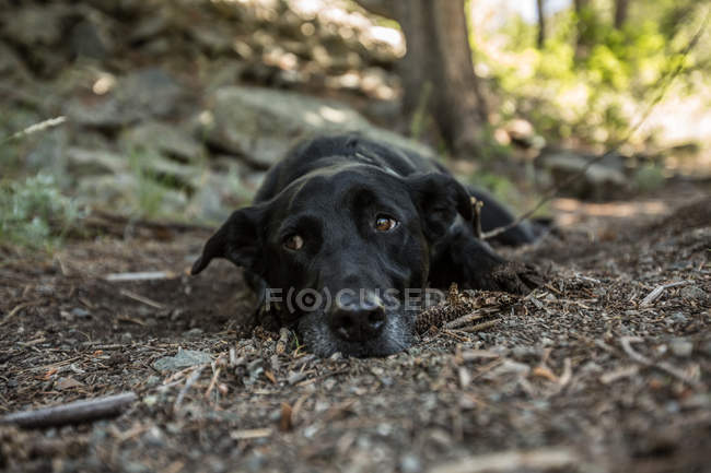 Dog lying down in the forest, closeup view — Photo de stock