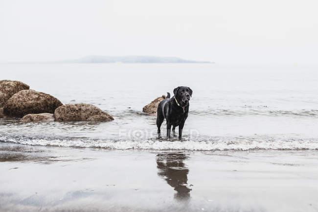Cão preto de Labrador que está na praia de Ireland — Fotografia de Stock