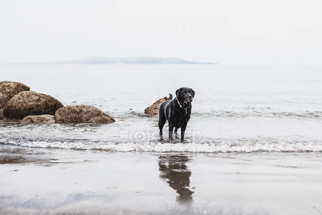 Black labrador dog standing on beach of Ireland — Stock Photo