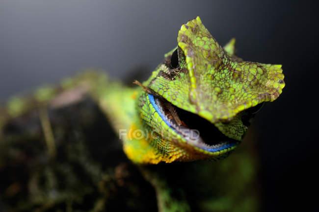 Retrato de un lagarto con boca abierta, vista de cerca, enfoque selectivo - foto de stock