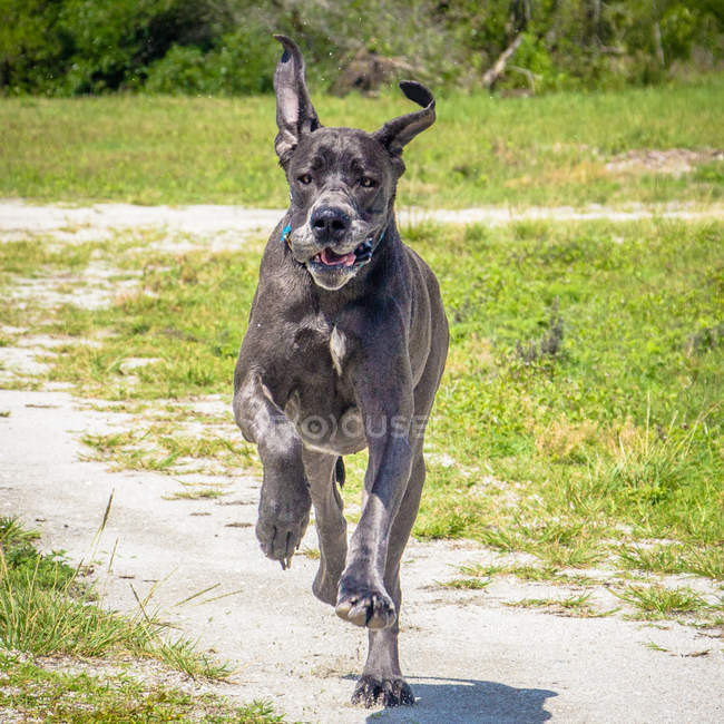 Great Dane running in a park, closeup view — Stock Photo