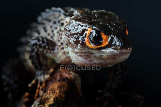 Крокодиловый сцинк на ветке, вид крупным планом, избирательный фокус — стоковое фото