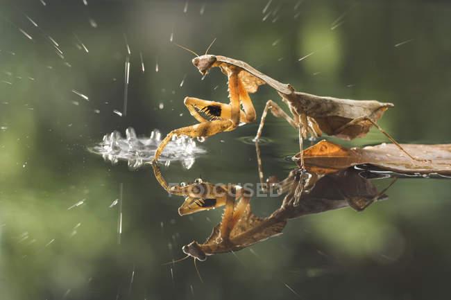 Mantis inoperante da folha na chuva de encontro ao fundo borrado — Fotografia de Stock