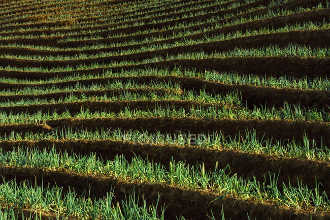Scenic view of Terraced onion field, Majalengka, West Java, Indonesia — Stock Photo
