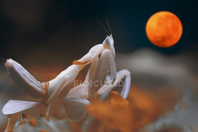 Милис на цветке, смотрящем на солнечное затмение, вид крупным планом — стоковое фото