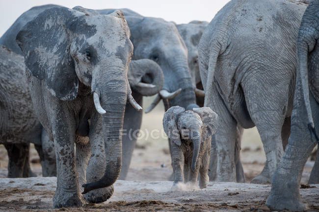 Ternero elefante con manada de elefantes, Botswana - foto de stock