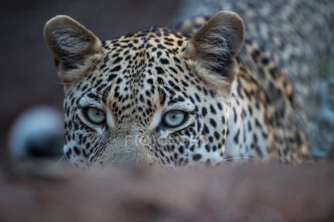 Closeup Portrait of a leopard, blurred background — Stock Photo