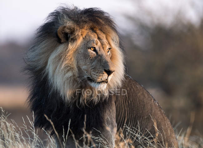 Portrait of a majestic male lion against blurred background — Stock Photo