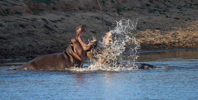 Due tori hippo combattimento, Kruger National Park, Sud Africa — Foto stock