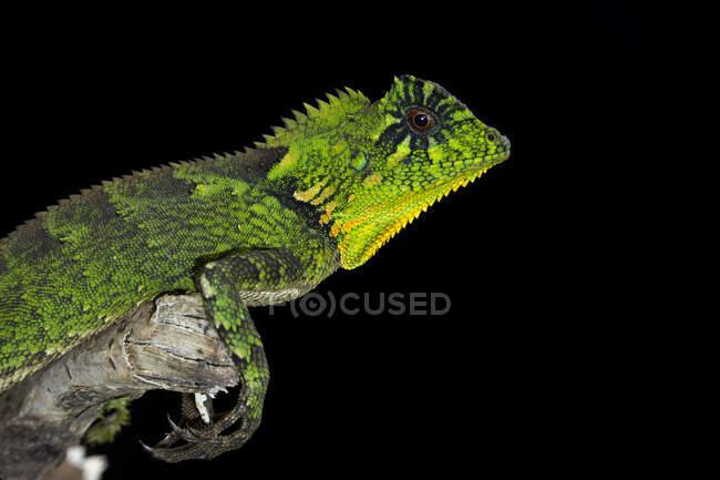 Close-up shot of green iguana on black background — Stock Photo