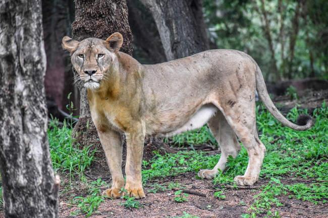Портрет львицы, стоящей в диком лесу — стоковое фото