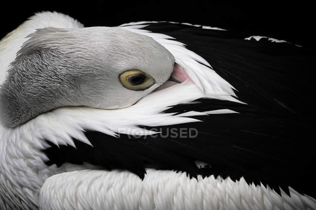 Pélican blanc américain dormant avec le bec dans des plumes — Photo de stock