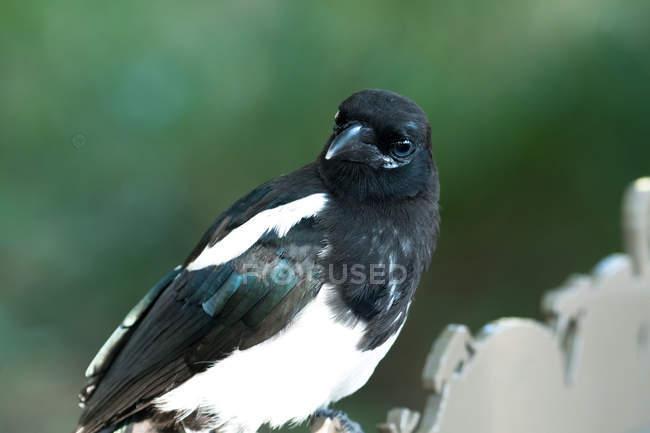 Portrait d'un oiseau perché sur une clôture en bois sur fond flou — Photo de stock