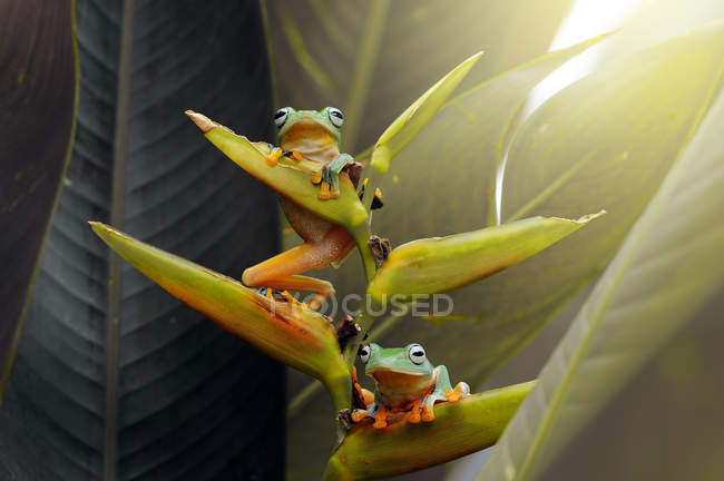 Two flying frogs on a flower, closeup view — Stockfoto