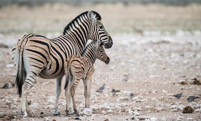 Cebra con cebra de cebra, Parque Nacional Etosha, Namibia - foto de stock