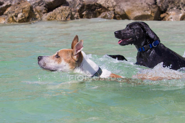 Two dogs swimming in ocean, United States — Stock Photo