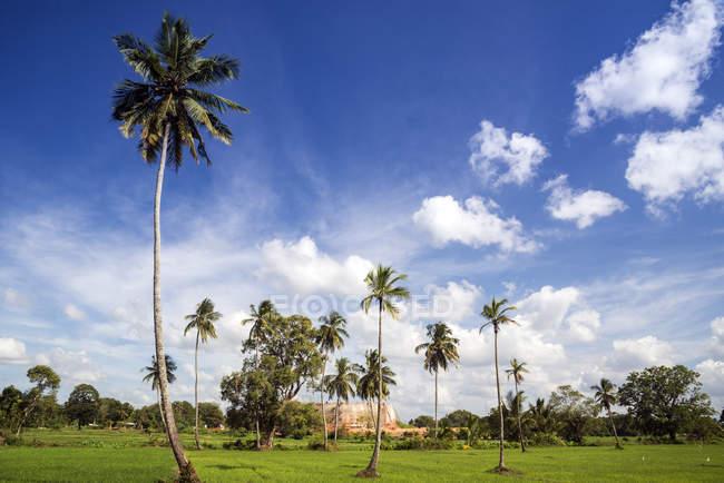 Palme in un campo di risaie, Anuradhapura, Sri Lanka — Foto stock