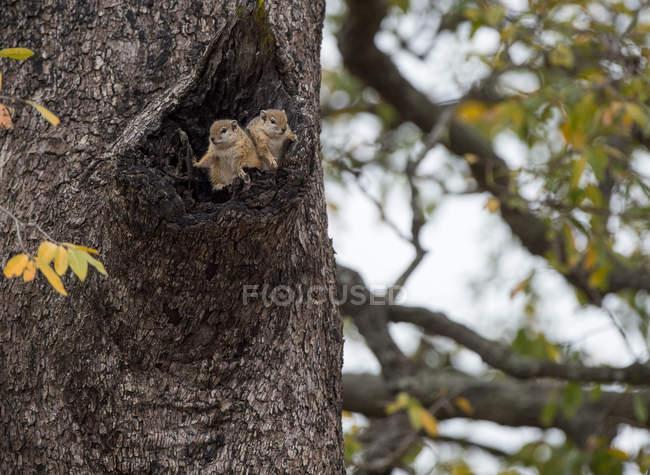 Вигляд двох білок на дереві (ПАР). — стокове фото