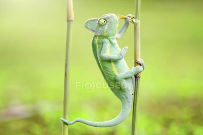 Портрет хамелеона на бамбуке, вид крупным планом, селективный фокус — стоковое фото
