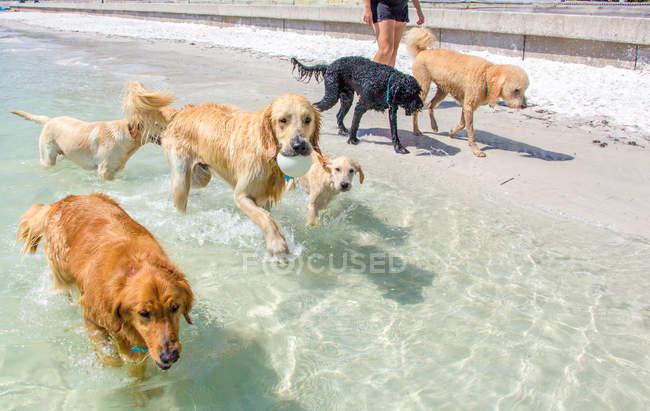 Frau zu Fuß am Strand mit einer Gruppe von Hunden — Stockfoto