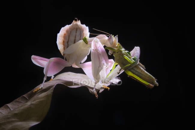 Nahaufnahme der Orchideenfliege mit ihrer Beute — Stockfoto