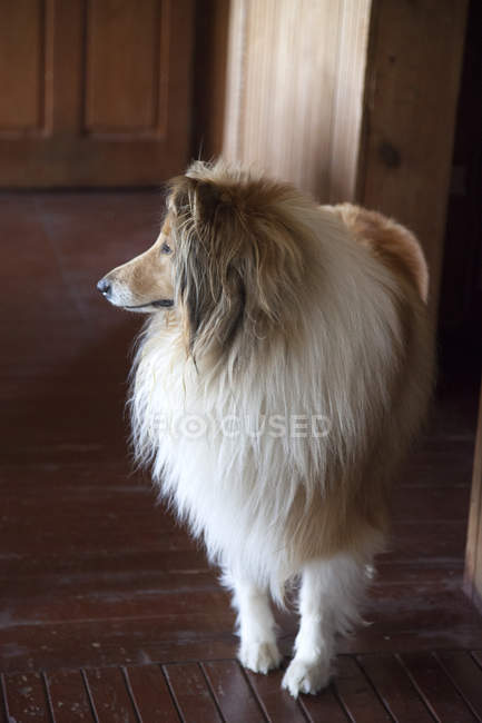Portrait of a collie standing in a hallway, closeup view — Stock Photo