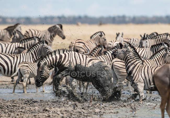 Malerischer Blick auf Zebras, die im Schlamm stecken, Etoscha-Nationalpark, Oshana, Namibia — Stockfoto
