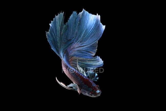 Vista de primer plano de majestuoso pez betta sobre fondo negro - foto de stock