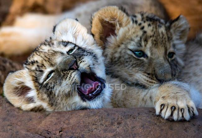 Крупный вид усталых львят — стоковое фото