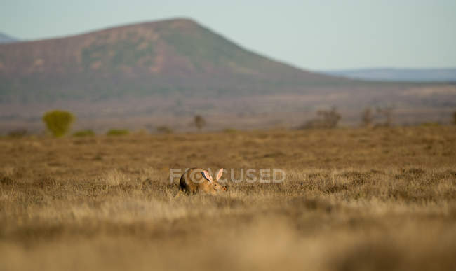 Аарварк, Восточная Капская провинция, Южная Африка — стоковое фото