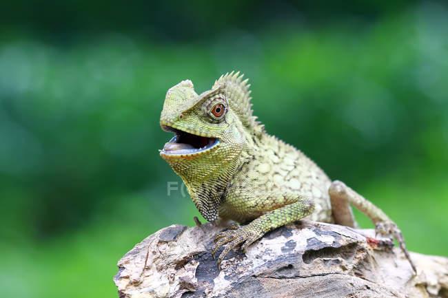 Porträt einer Eidechse mit offenem Mund, Nahaufnahme, selektiver Fokus — Stockfoto