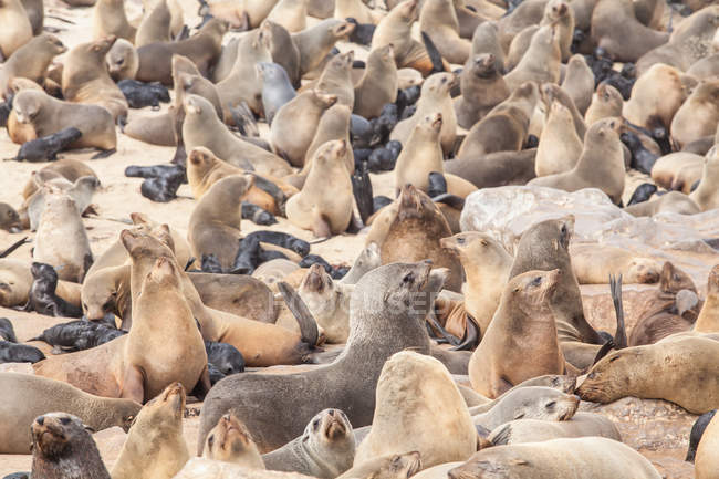 Scenic view of Cape Fur seal colony, Namibia — Stock Photo