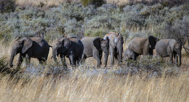 Scenic view of majestic herd of elephants with elephant calves, South Africa — Stock Photo