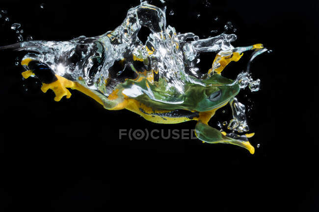 Close-up shot of green tropical frog in water isolated on black — Stock Photo