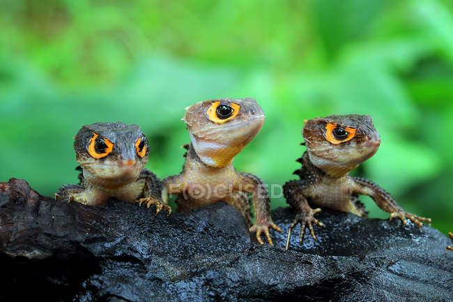 Три крокодиловых сцинка, вид крупным планом, избирательный фокус — стоковое фото