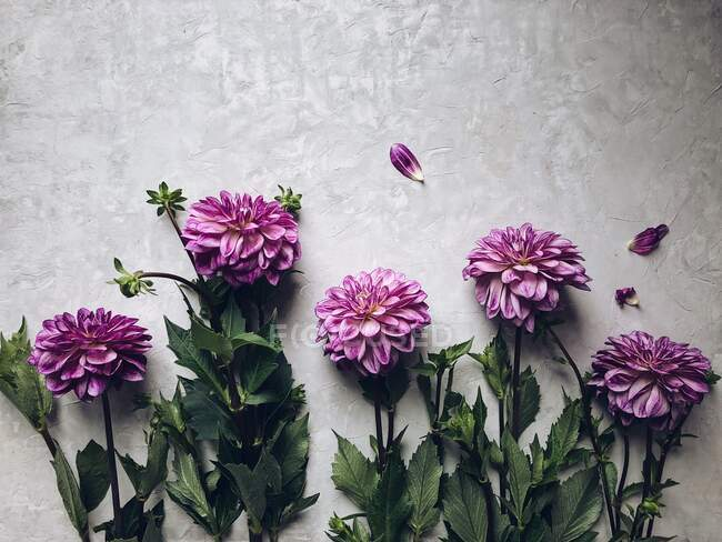 Disposizione Dahlia su sfondo grigio — Foto stock