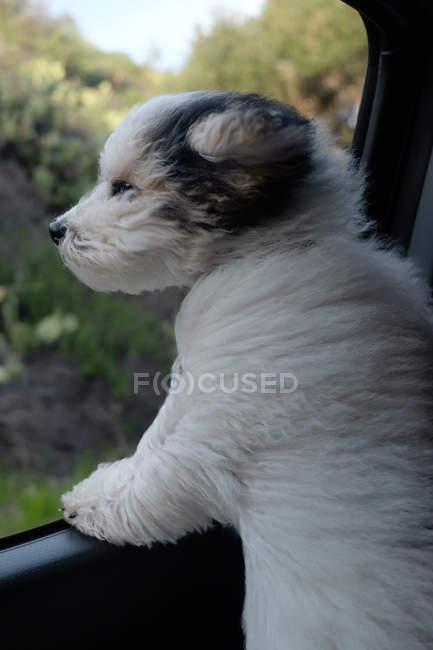 Yorkipoo собака дивиться з машини вікна — стокове фото