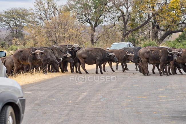 Африканское стадо буйволов, пересекающих дорогу, Мпумаланга, южная Африка — стоковое фото