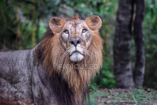Porträt eines Löwen, der im wilden Wald steht — Stockfoto